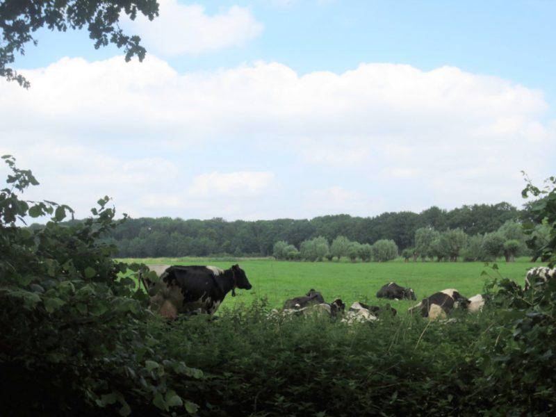 Koeien bij Rhijnauwen