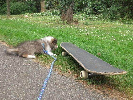 Puppy ontdekt skateboard