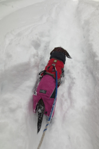 Hondje wandelt in de diepe sneeuw