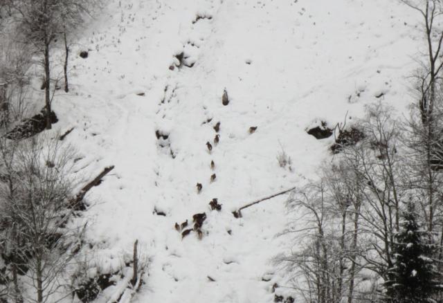 Wilde steenbokken bij de Klammsee