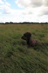 Teckel zit in het gras