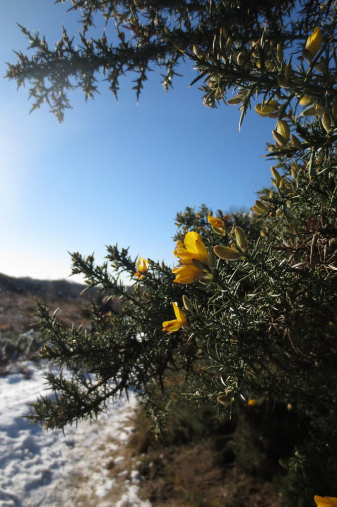 Sneeuw en bloemetjes in natuurgebied Veluwezoom-Posbank