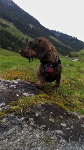 Wandelen met teckel in de Oostenrijkse Alpen