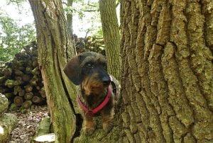 Ruwharige teckel staat in een boomstam